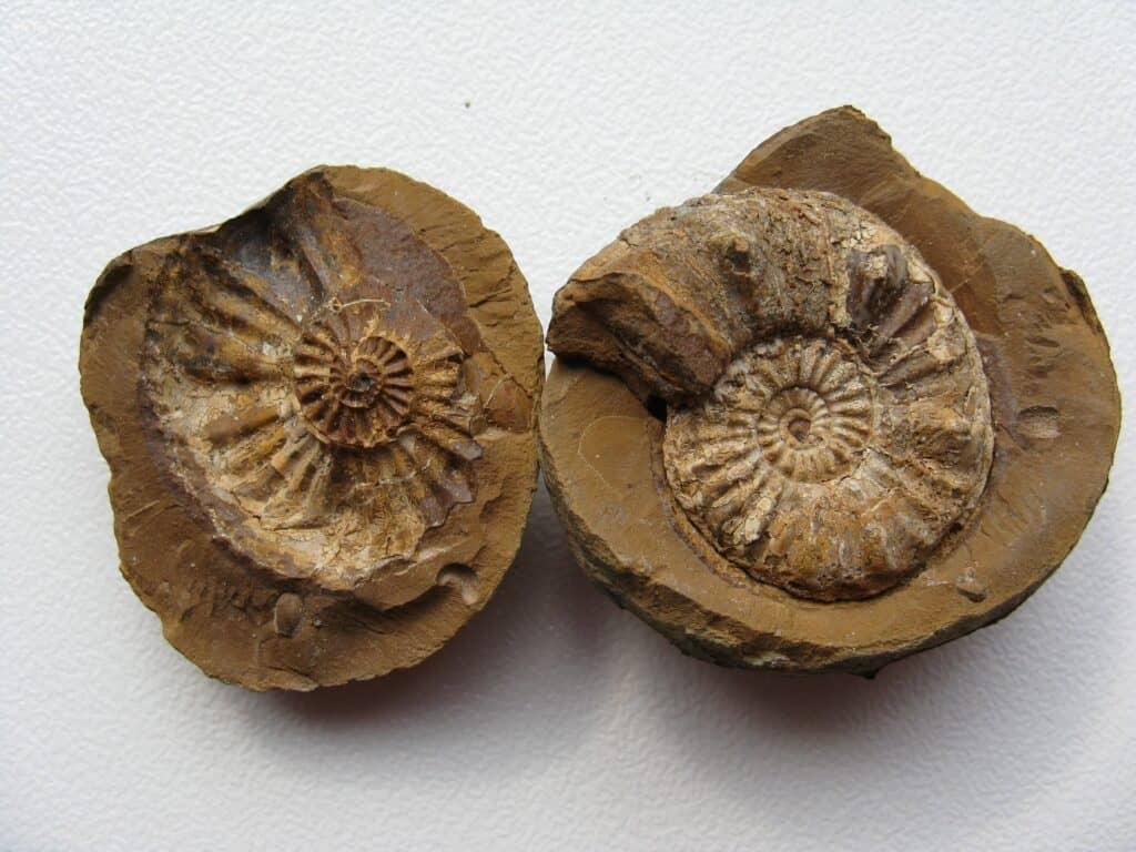Non-petrified fossils rockhounding
