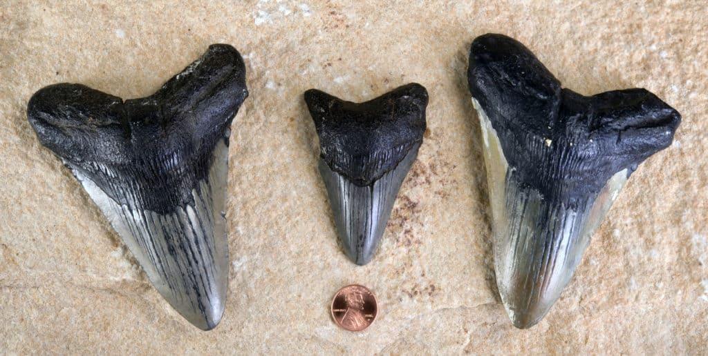 Megalodon Shark Teeth Found in Texas